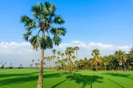 land scape view of Toddy palm and ricefield with shade from sunlight photo