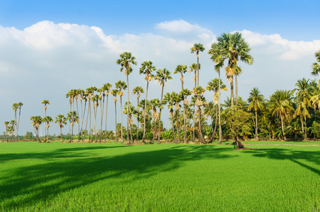 land scape view of Toddy palm and ricefield with shade from sunlight