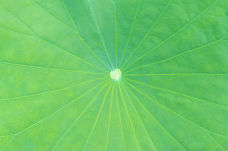 close up lotus leaf, green as the background photo
