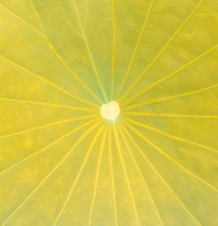 close up lotus leaf, yellow as the background photo