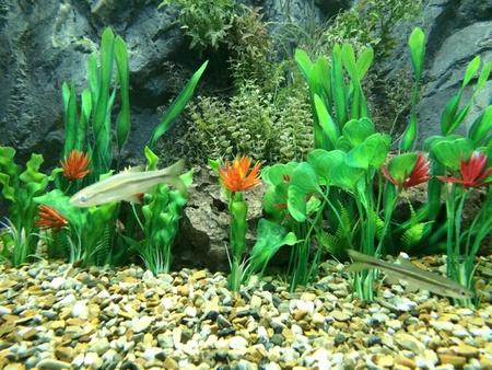 interior: Close up of puntioplites fish in aquarium