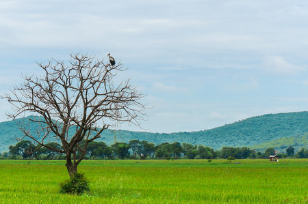 perch: Birds perch on dead tree in the middle of the rice field. Stock Photo