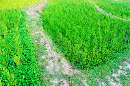 jailbreak: Walkway into green natural rice field Stock Photo