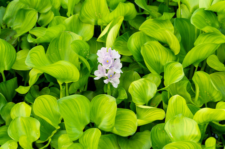 water sources: close up of Water hyacinth flower in natural water sources bright sunlight