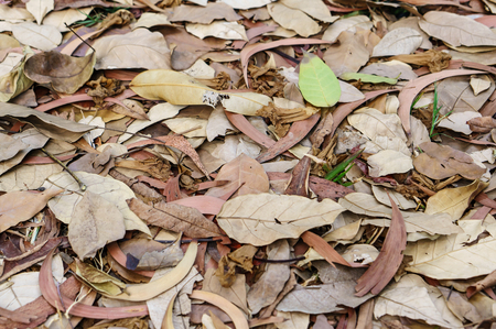 dry leaves: large brown dried falling leaves on the ground, alone background Stock Photo
