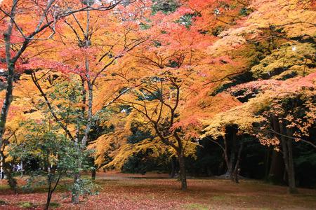 momiji: Colorful Trees of Momiji in Japan