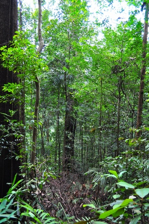 bukit: Forest with big tree trunk at Bukit Timah Nature Reserve