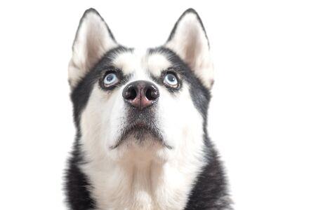 Cute husky dog wait dof food over white background. Dog is waiting dog treats