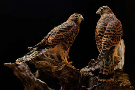 Two young falcons (Falco moluccensis) are starting their daily activities near the nest.