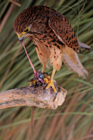 A falcon (Falco moluccensis) is tearing a lizard into its prey.