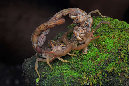 Two scorpion mothers (Hottentotta hottentotta) who are carrying their babies are fighting for their territory. Zdjęcie Seryjne
