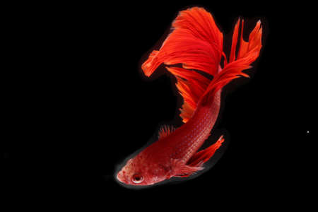 A betta fish is developing its beautiful tail and belly fins. Foto de archivo
