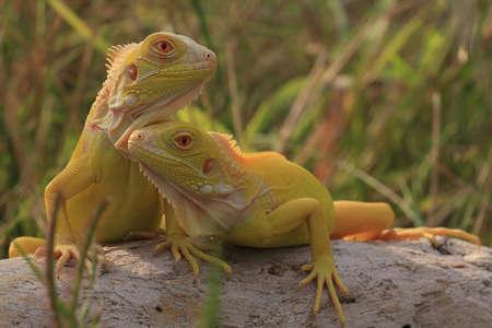 A group of yellow iguanas are sunbathing.
