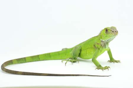A green iguana (Iguana iguana) is sunbathing.