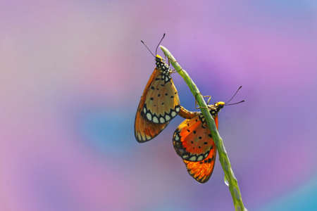 A pair of butterfly are mating.