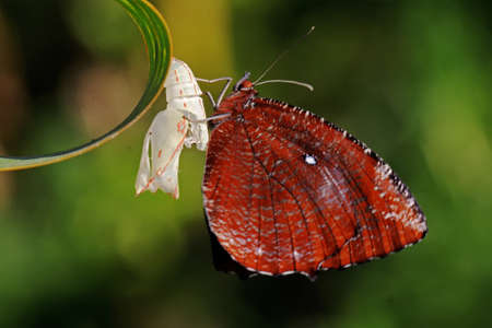 A young butterfly is ready to come out of the cocoon.