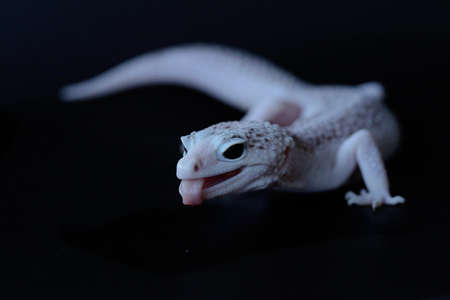 A leopard gecko (Eublepharis macularius) is posing in a distinctive style.