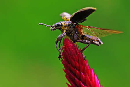 A yellow weevil is foraging on flowers.