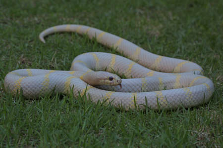 A kingsnake (Lampropeltis sp) with a clean white base is looking for prey on the grass.