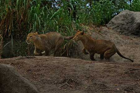 Two young lions are showing an alert attitude. 免版税图像