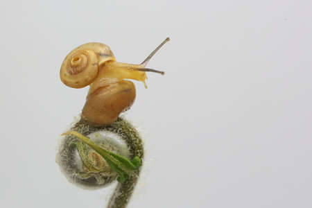 Two small golden yellow snails are walking slowly. 版權商用圖片