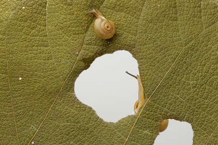 Two small golden yellow snails are walking slowly. Stock Photo