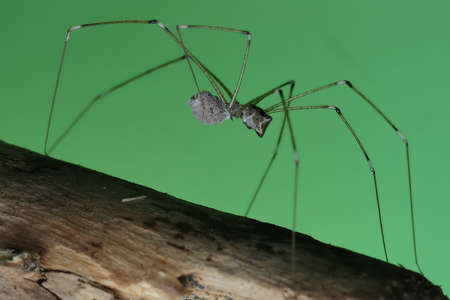 A mother long-legged spider carries her eggs wherever she goes to protect her eggs from predators.