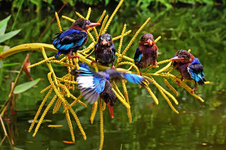 A group of Javan kingfisher (Halcyon cyanoventris) perched on a palm flower growing beside a pond. Banque d'images