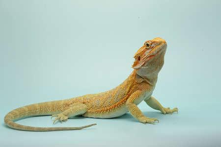 A bearded dragon (Pogona sp) is showing aggressive behavior.