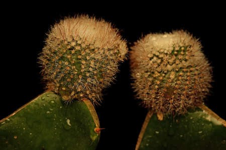 The beauty of the cactus (Cactaceae sp) with its delicate spines decorated with dews. Selectively focus on black background.