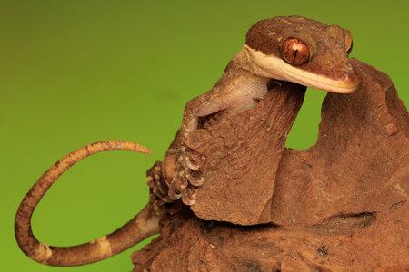 A gecko is ready to take prey.