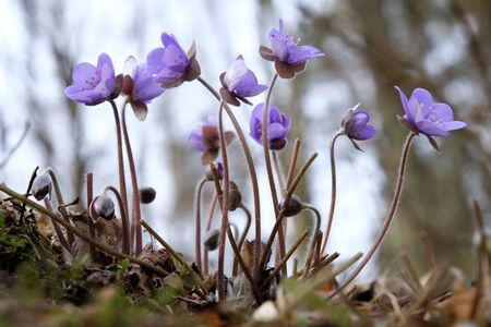 The anemone hepatica kidneywort - violet spring flowers