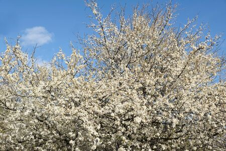 Flowering fruit tree in spring. White small flowers of Mirabelle plum, also known as mirabelle prune or cherry plum (Prunus domestica subsp. Syriaca).