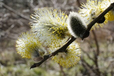 Flowering catkins of Salix caprea (goat willow, also known as the pussy willow or great sallow)