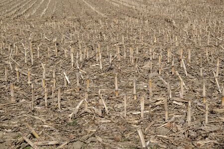 A Field With Stubble Of Maize, Closeup In Sunny Spring Stock Photo ...