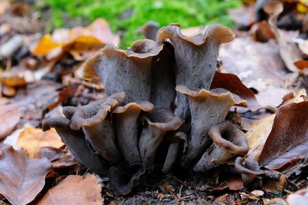 Craterellus cornucopioides, or horn of plenty, is an edible mushroom. It is also known as the black chanterelle, black trumpet or trumpet of the dead.
