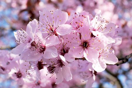 A twig of tree with pink flowers. Prunus subhirtella (Prunus ? subhirtella), the winter-flowering cherry, spring cherry, Higan cherry, or rosebud cherry, is a small deciduous flowering tree. Stock Photo