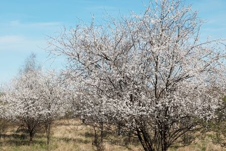 Blooming fruit trees in spring. White small flowers of Mirabelle plum, also known as mirabelle prune or cherry plum (Prunus domestica subsp. Syriaca).
