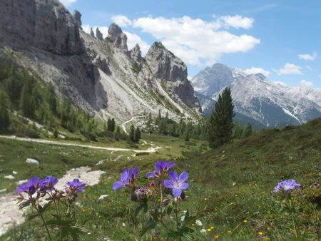 Dolomites - beautiful mountain landscape with violet flowers on the trail around Tre Cime. Dolomites is a mountain in Tyrol, Italy