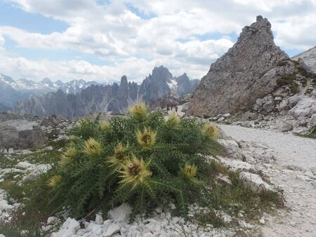Dolomites - on the trail around Tre Cime, view with flowers (carlina). Dolomites is a mountain in Tyrol, Italy