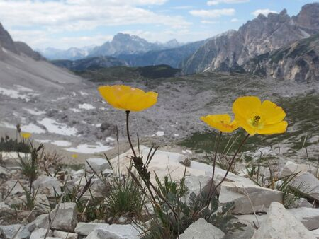 Dolomites - on the trail around Tre Cime, view with yellow flowers of poppies. Dolomites is a mountain in Tyrol, Italy