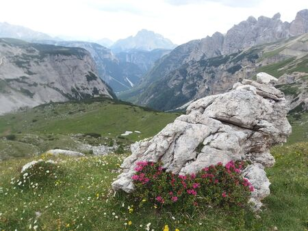 Italy, the Dolomites - mountain landscape with a beautiful rhododendron bush next to rock on the trail around Tre Cime massive. Dolomites is a mountain in Tyrol