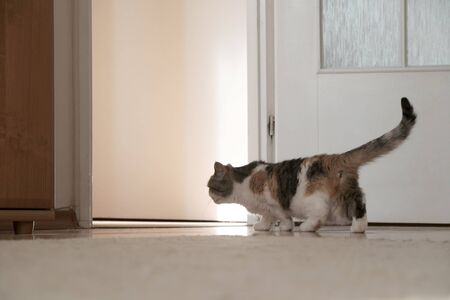 A small cat is walking around an empty new apartment, creeping across the threshold. He is exploring new area. This is the Exotic cat breed. It is similar to a Persian cat, but has short hair.