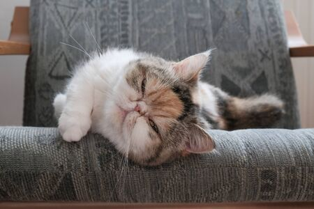 A small kitty is lying in armchair and looking at lens. This is the Exotic cat breed. It is similar to a Persian cat, but has short hair.