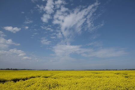 Beautiful yellow blooming rapeseed fields on Zulawy, Poland. A sunny day with blue sky and little clouds