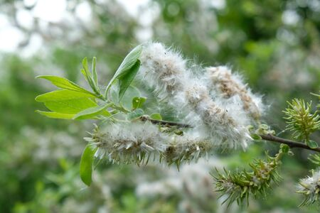 Close up of the branches of the fluffy willow seedling dispersing the white seed fluff. Causes of seasonal allergies. allergic to pollen.