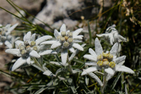 Nice mountain flowers of Leontopodium nivale, commonly called edelweiss, met in Velebit National Park, Dinaric Mountains, Croatia. Stock Photo