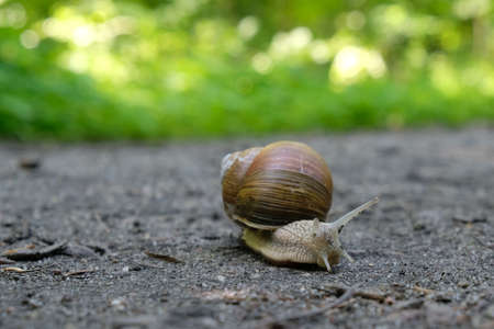 Closeup of Helix pomatia on the road in forest. Common names the Roman snail, Burgundy snail, edible snail or escargot.