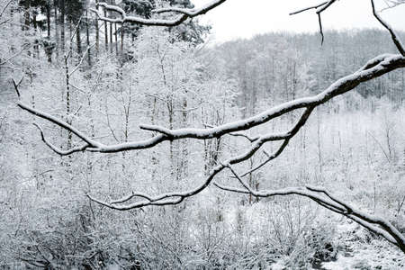 Kaszuby, Poland - a forest in a beautiful winter scenery around the Otomin Lake. The foggy day gave the effect of a black and white photo.
