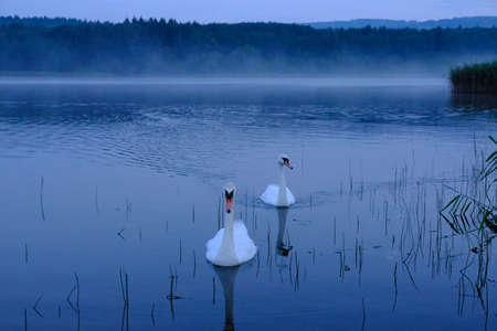 Couple of swans on foggy lake in the morning